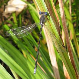 Damselfly: Spotted Spreadwing